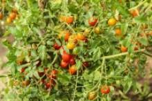 Tomaten im Garten Foto